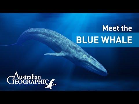Meet the Pygmy Blue Whale | AusGeoShop