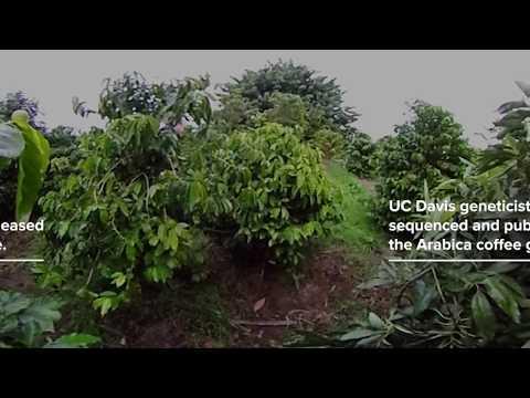UC Davis in 360: Sequencing the Arabica Coffee Genome