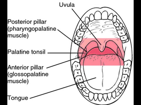 Gag Reflex involve two cranial Nerves: IX (glossopharyngeal nerve) and X (Vagus nerve)