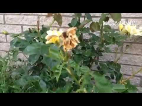 What's eating my roses?