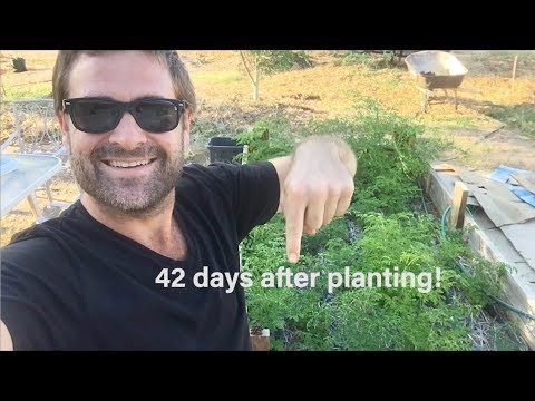 Ep179 - 200 Moringas in a 9x5 Raised Bed - 42 days after planting - Zone 1 Permaculture