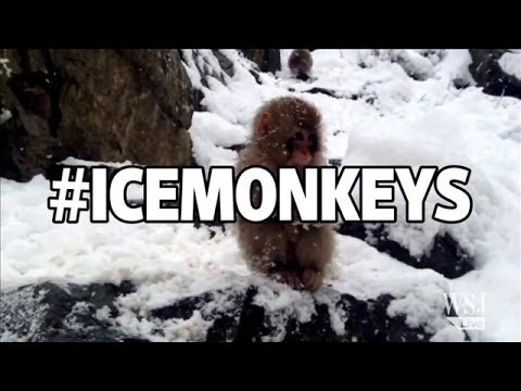 Ice Monkeys, Cold Bears and More Winter Weather Animals