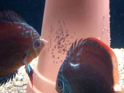 Discus fish eggs hatched!