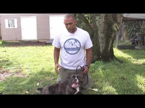 Dog Training : Dog Pregnancy Signs & Detection