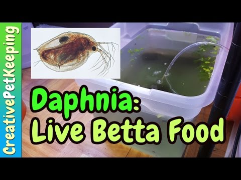 Growing LIVE food for baby bettas   Daphnia Pulex