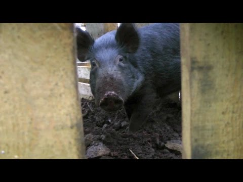 Wild Boar Trap Made From Wood Pallets | Hawaii Video