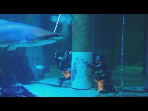 Divers Shoo Away Sharks as They Hang Nativity Scene in Aquarium