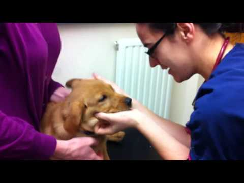 Jess receiving her Kennel Cough vaccination at Westmoor Veterinary Hospital