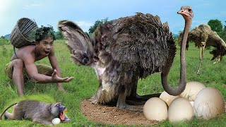 OMG! Mother Ostrich Failed Protect Her Eggs From Human, Monkey, Hyena – Eagle vs Snake, Baboon, Fish