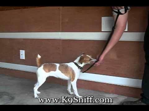 Bed Bug Dog Training Phoebe Part 2 www.K9Sniff.com