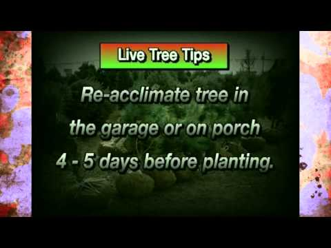 Keeping Live Christmas Trees Living in Your Home
