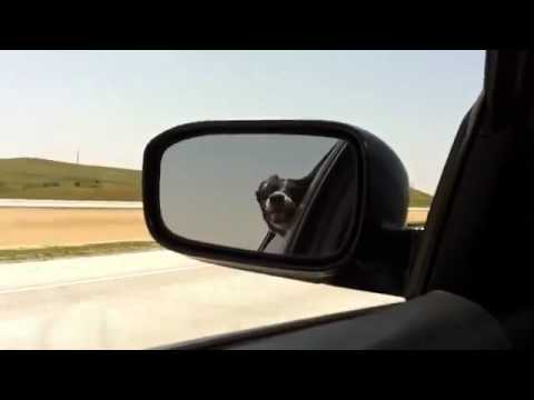 Dog barking at traffic - Watch him try and bite the cars