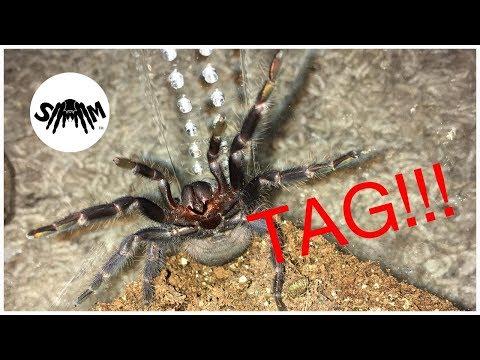 Tarantula Tag: TarantulaSam