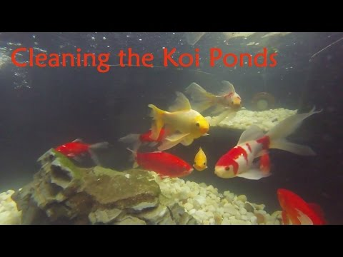 Cleaning the Koi Ponds - A how to guide: GoPro Underwater Before & After; Step-by-Step Instructions