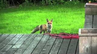 What the Fox ACTUALLY Says (The Scream of a Fox)