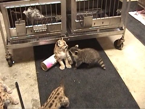 Baby COUGARS & RACCOONS Playing (c) Denmortube