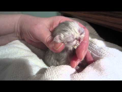 Mr. Quackers - just 2 days old! Hand Feeding a Newborn Kitten - So tiny! So cute!