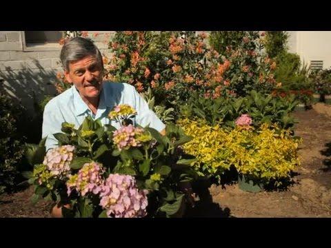 How Do I Increase Blooms on Hydrangeas? : Garden Savvy