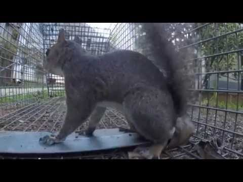 Trapping a squirrel