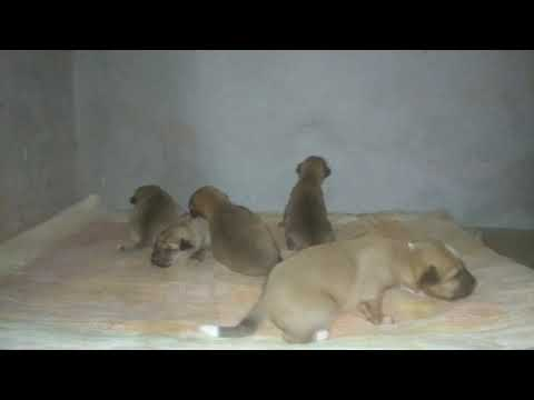 Kombai mix puppies (13 days old) keeping themselves warm (Indian breed)