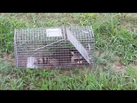 I found a Raccoon in my animal trap
