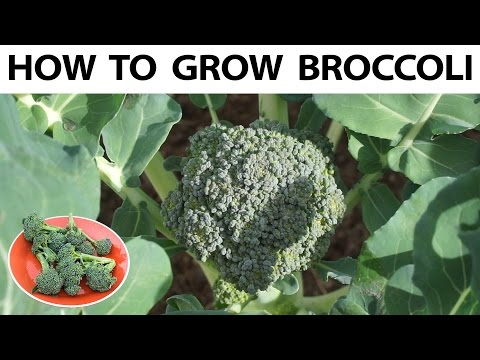 How to grow broccoli from seed  to harvest - A complete guide