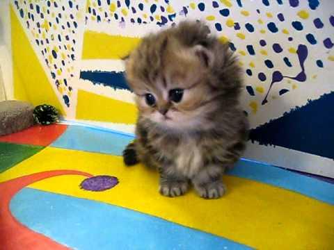 Cute Persian kittens: the