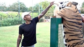 Huge Tiger Attacks BoW WoW!!