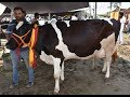 Quality Holstein cows in India | HF cow from India