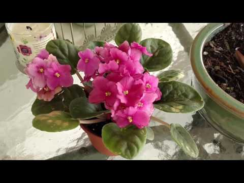 Watering my African violets