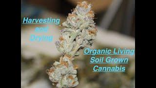 Harvesting and Drying Organic Cannabis! Purple Punch, Wedding Cake, Gelato 33