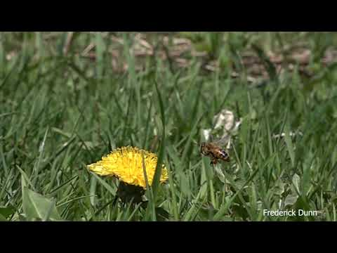The Amazing Honey Bee and Mason Bee SlowMotion Pollen Dandelion