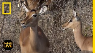 Safari Live - Day 174 | National Geographic