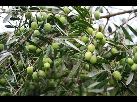 Growing the Table Olive (Olea europaea)