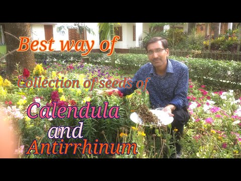 Time to Collect and Store Seeds of Calendula and Antirrhinum
