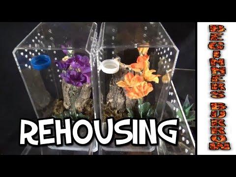 Tarantula Rehousing / Beginner Vs Pokie - Beginners Burrow