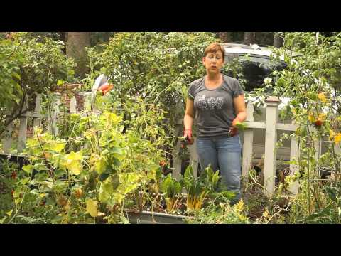 Cutting Swiss Chard in a Garden : Garden Space