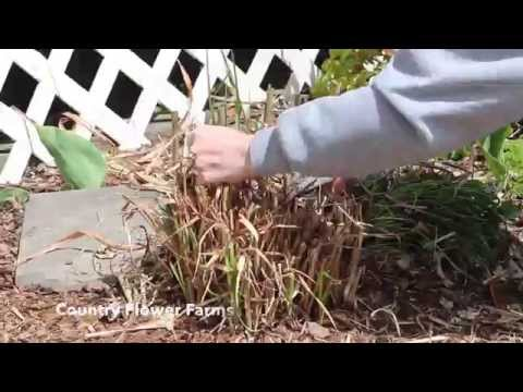 Cutting Down Ornamental Grasses in Early Spring