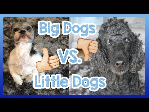 Big Dogs VS. Little Dogs! What are the Differences Between Big Dogs and Little Dogs? Pro's & Cons!