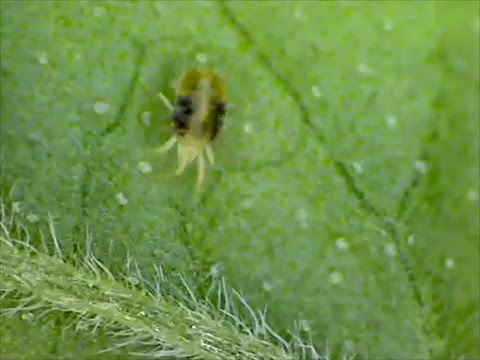Cannabis Pests: Spider Mite Close-Up