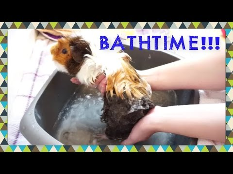UPDATED! Easy Bathtime for Guinea Pigs!   Squeak Dreams