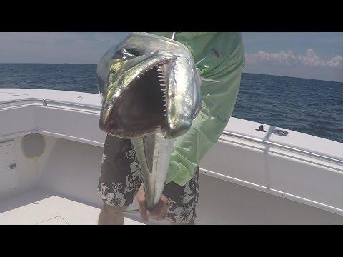 Live Bait Fishing for Drag Screaming Kingfish