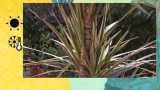 Lezioni di giardinaggio COMPO: coltivare la Dracaena!