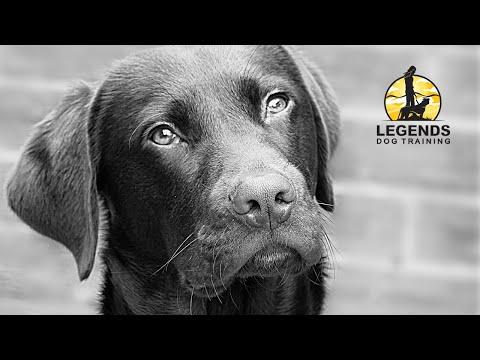 Labrador Retriever: Aggression, Impulsivity