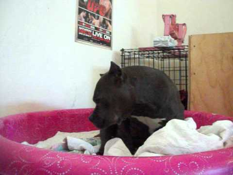 American Bully in labor
