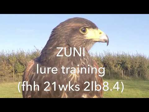 Training a new Harris hawk