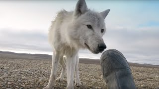 Dangerously Close To Wolves - Snow Wolf Family And Me - BBC