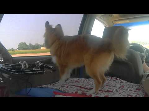 Sheltie Tries to Chase Passing Cars