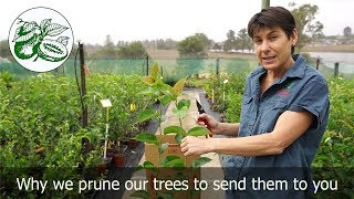 Daleys Nursery show why we prune back our trees when we send them to you