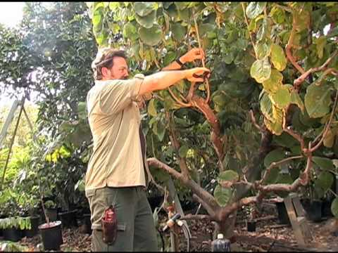 How to Prune a Cherimoya Tree